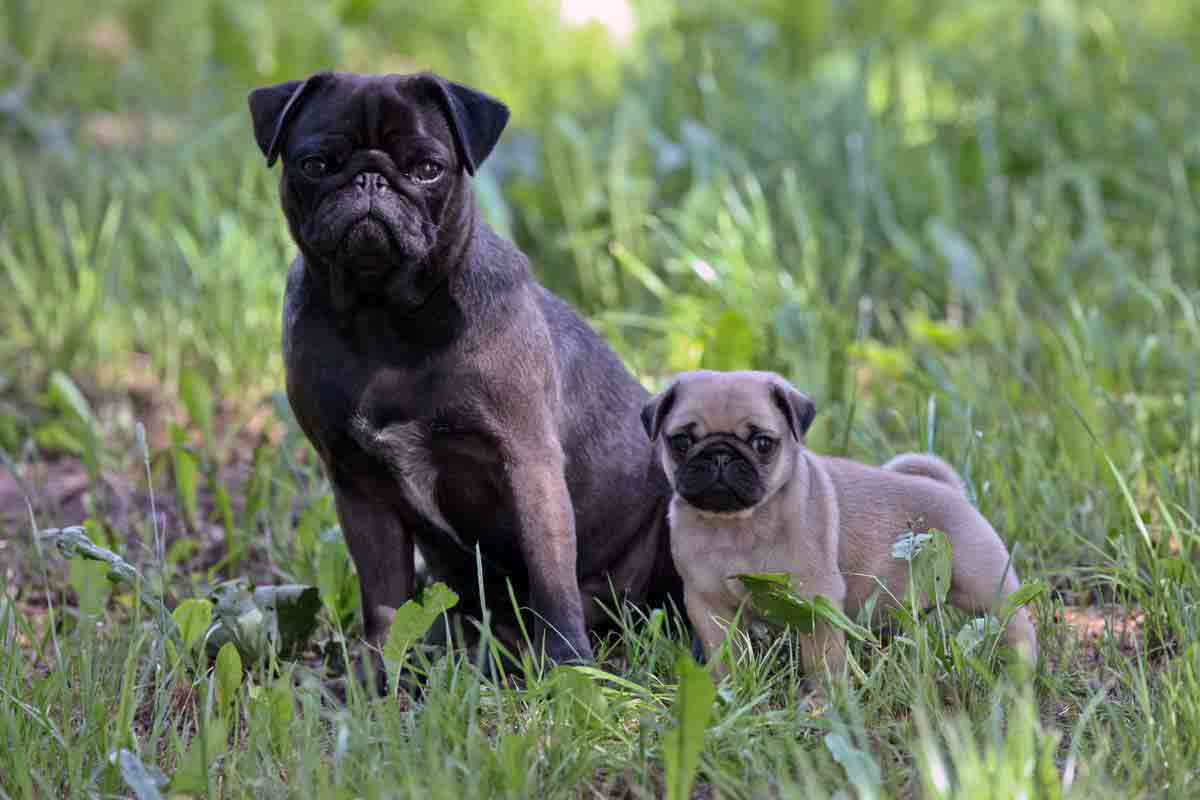 Pug in Silver and favn
